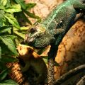chameleon 5 years