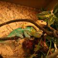 chameleon gekko