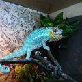 chameleon Nosy Be