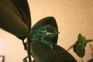 Бирюзовый хамелеон
