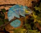 Хамелеон спит