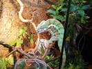 Хамелеон пардалис