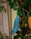 Голубой хамелеон