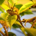 Yulia chameleon