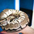 Yulia snake