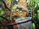 Chamaeleo Chameleon