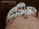 Ковровый хамелеон
