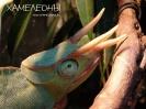 Хамелеон деременсис