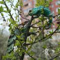 chameleon parsoni i pardalis
