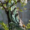 chameleon parsoni