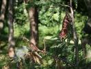 Хамелеонье дерево