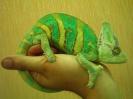 хамелеон, лоскутки