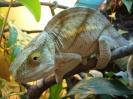 хамелеон, Parsonii (8)