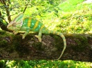 Chamaeleo calyptratus 5