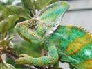 хамелеон, Chamaeleo calyptratus 6