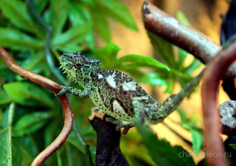 Chamaeleo quadricornis Дольчи