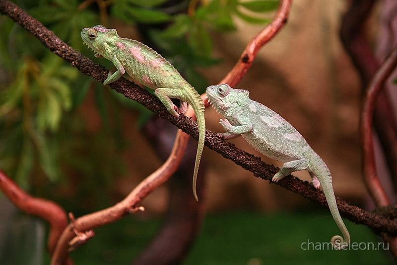 Chamaeleo quadricornis
